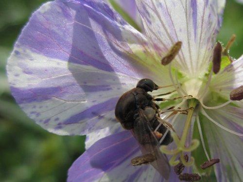 花にとまるセダカコガシラアブ(6月)
