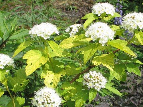 木に咲く白い花(6月)