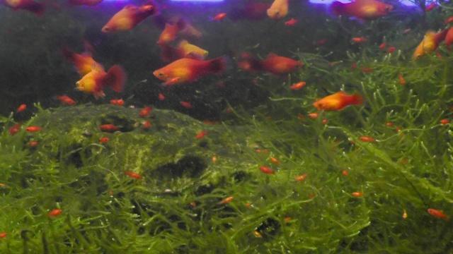 熱帯魚 プラティ 稚魚 ウィローモス