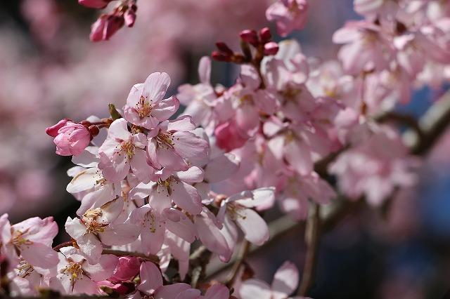 岐阜公園 桜の花