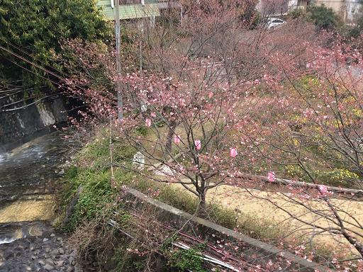 熱川桜開花.jpg
