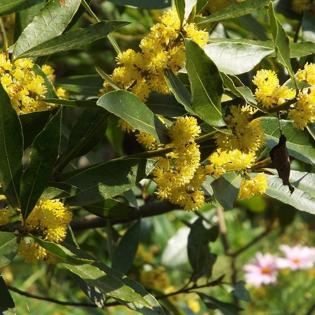 月桂樹の花.jpg