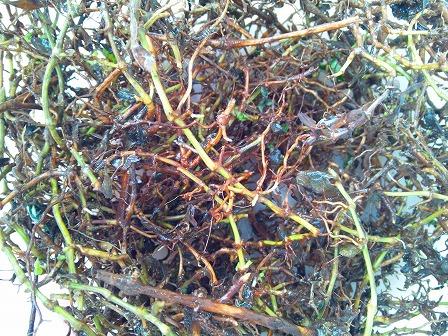 クラピアの庭にコガネムシの幼虫が大量発生2