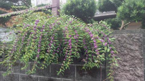 紫式部 庭