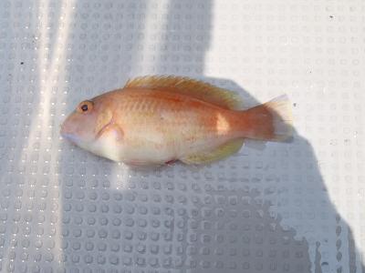 ミヤコベラ(Choerodon robustus)1