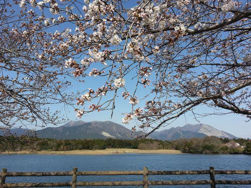 0330両ヶ池桜1.jpg