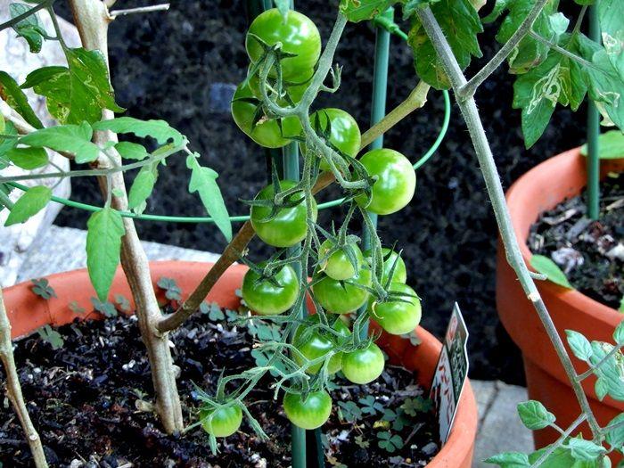 トマトの鉢3