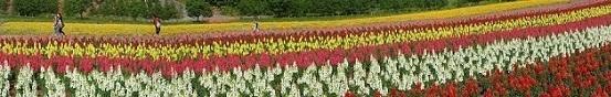 四季彩の丘パノラマ写真金魚草