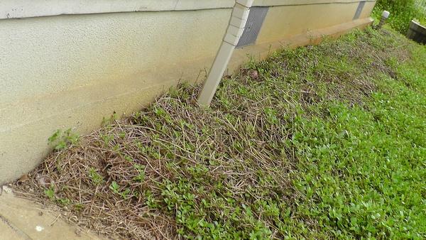 根や茎から芽吹くイワダレソウ