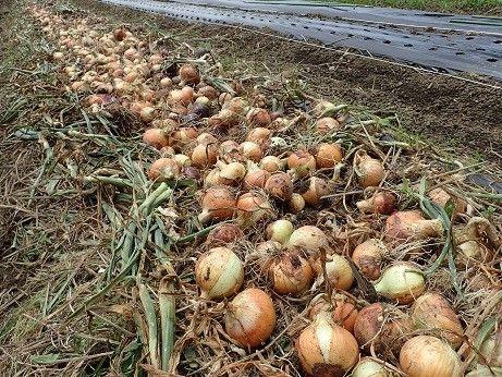 玉ねぎ 栽培