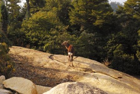 山頂に鹿.JPG
