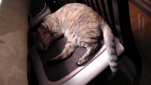 イスの上で寝るネコ 猫 ねこ