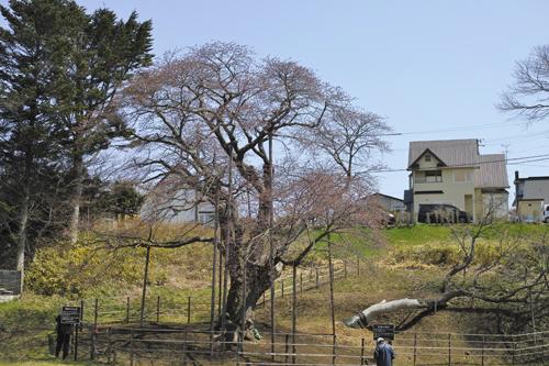 15大桜近い.jpg