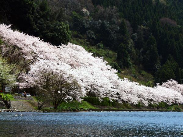 4-12海津大崎桜.a.jpg