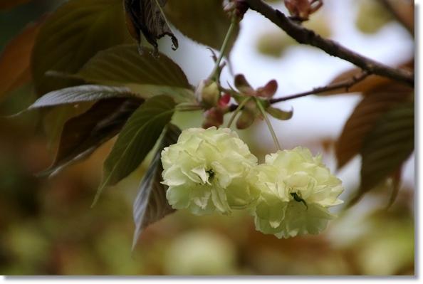 樹木公園-54 須磨浦普賢象-2 16.4.20