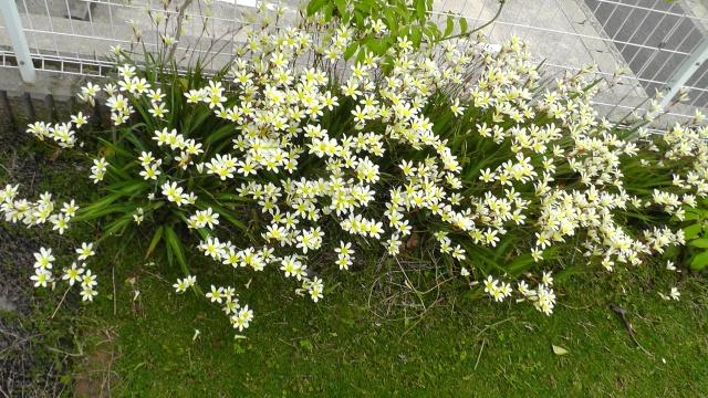 スイセンアヤメ(スパラキシス) 白い花 黄色い花 6枚の花弁