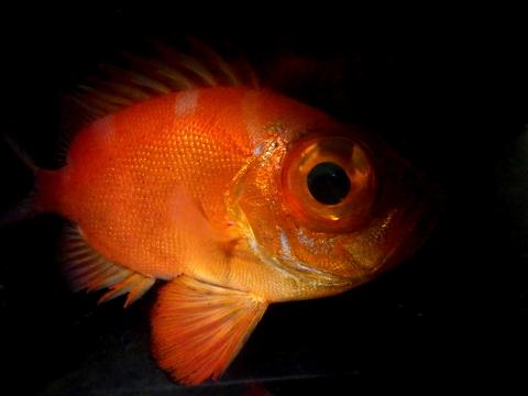 クルマダイ(Pristigenys niphonia)2 海水魚飼育