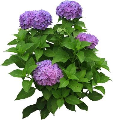 flower4213あじさい50.jpg