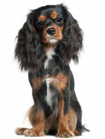 9750222-cavalier-king-charles-spaniel-11-months-old-sitting-in-front-of-white-background.jpg