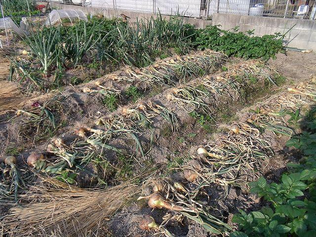 タマネギ「たまねぎ」の収穫