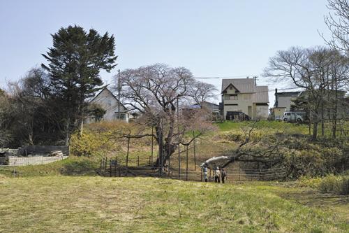 5大桜.jpg