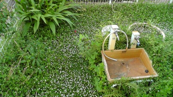 イワダレソウ(クラピアS1)で覆われた我が家の庭