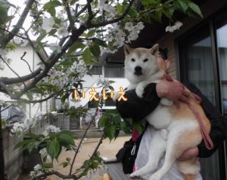 0409sakura2.jpg