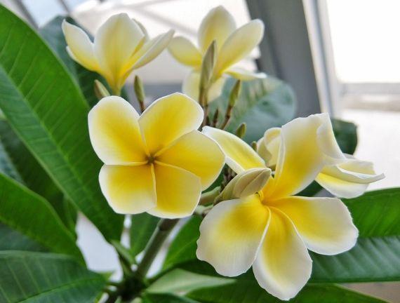 プルメリア ベランダ 鉢 花 開花 ABC ハワイ