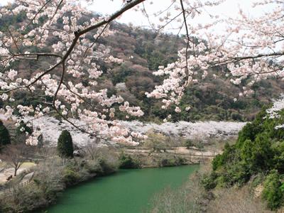 ゆずるはダム公園の桜.jpg