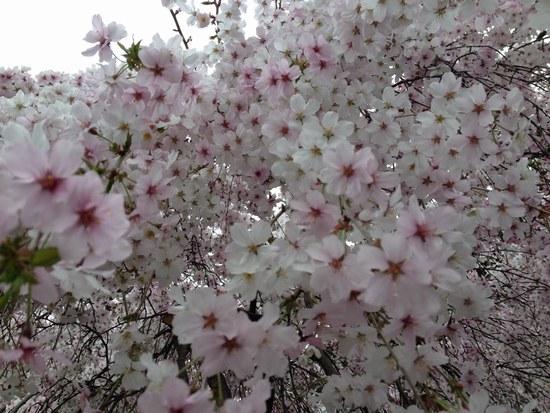 2枝垂桜5502.jpg