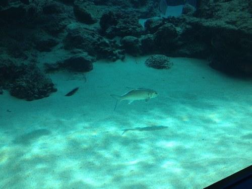 2日目ツアーバス美ら海水槽魚500.jpg