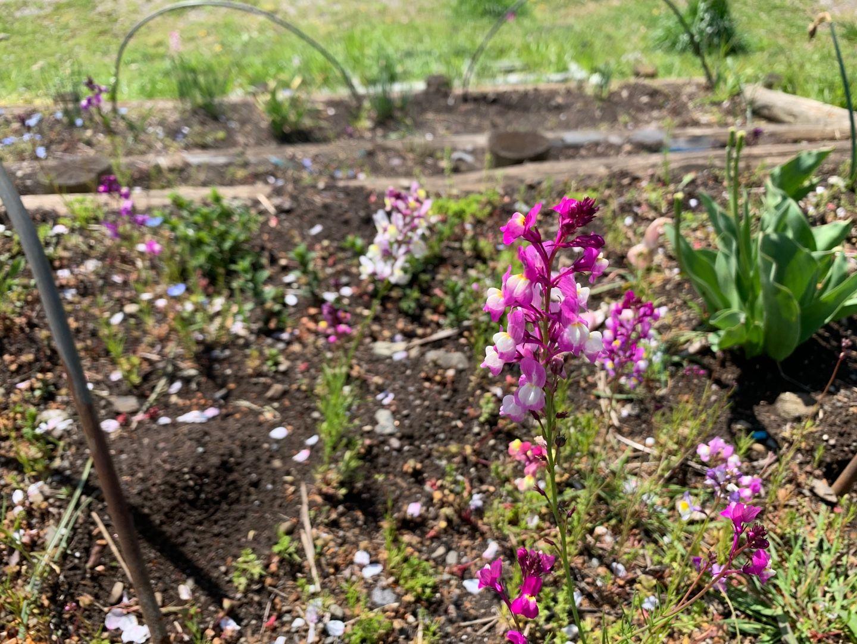 見かけた花 ルナリア ネモフィラ チューリップ 桜 山つつじ