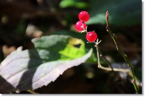 栂池自然園-20 マイヅルソウ 15.10.2