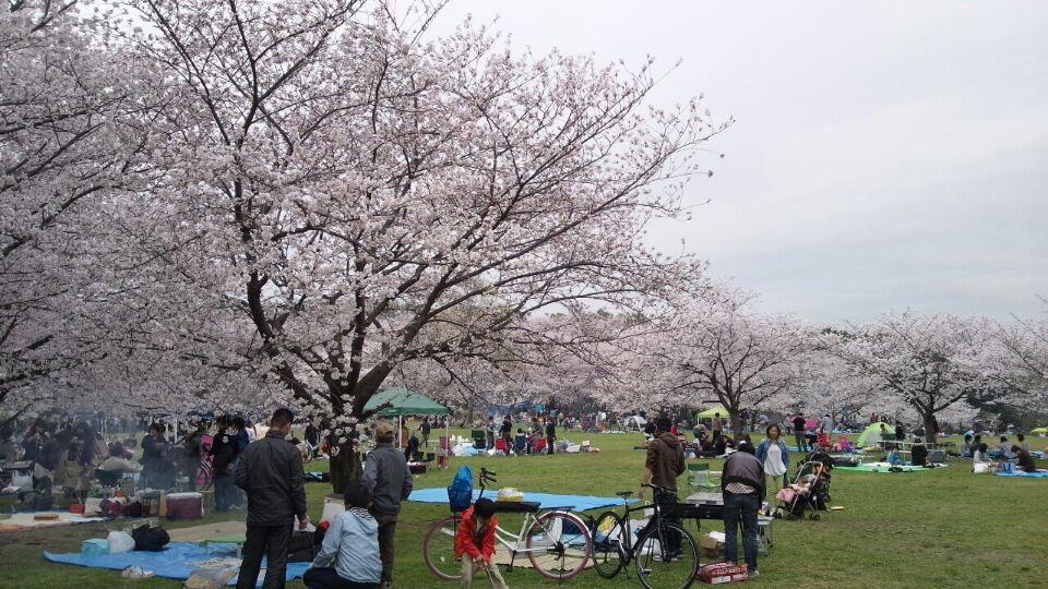 0331 大泉緑地桜