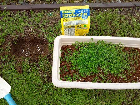 鉢植えのタイムが大きくなったので庭に定植しました2