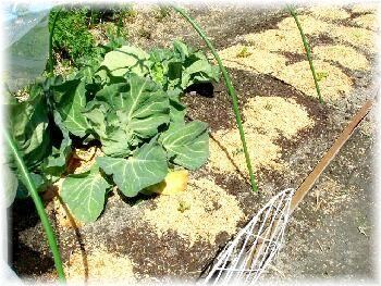 白菜 定植