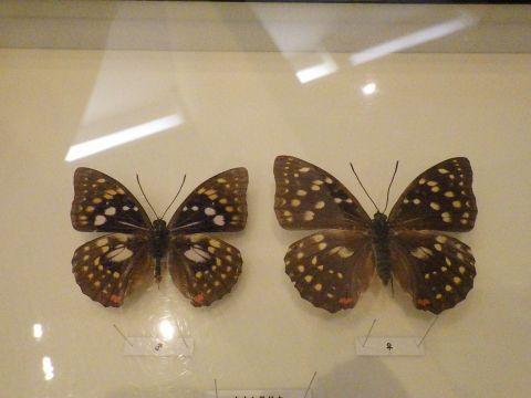 大阪市立自然史博物館2019年7月下旬5 オオムラサキの標本
