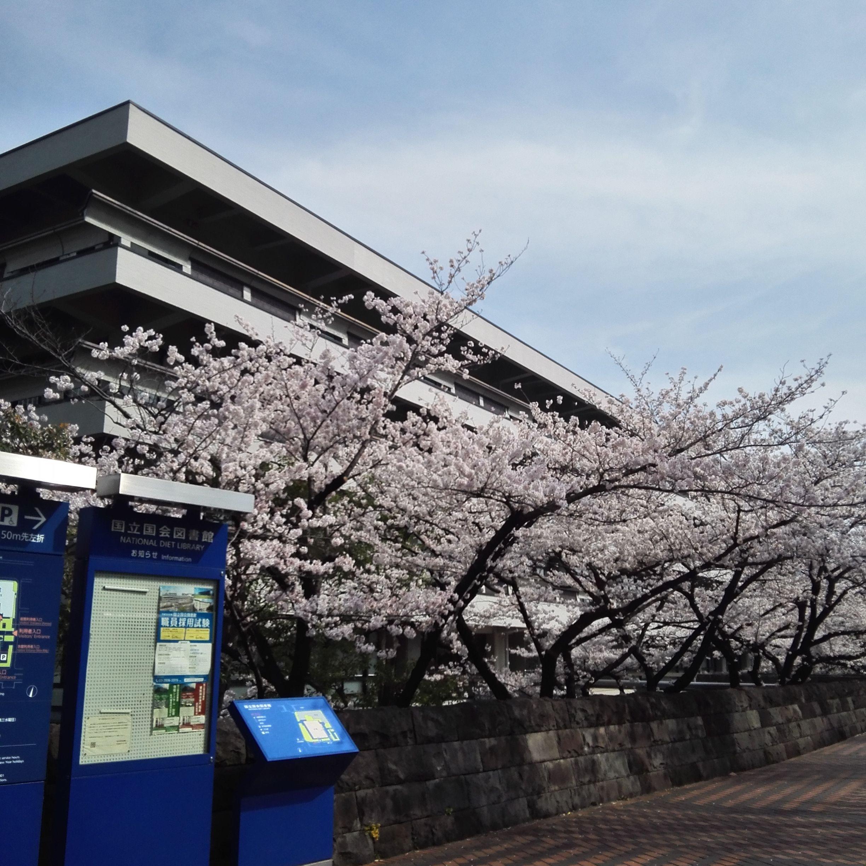 国立国会図書館_桜