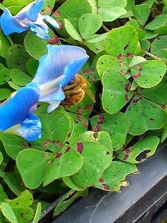 ブルークローバーとミツバチ