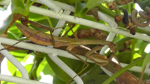 カマキリの終齢幼虫