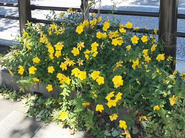 ヒペリカム・カリシナムの黄色い花
