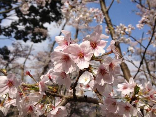 2ソメイヨシノ桜5000.jpg