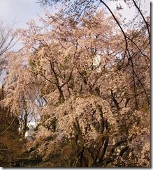 六義園しだれ桜4.jpg