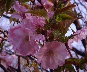 桜3 (356x294).jpg