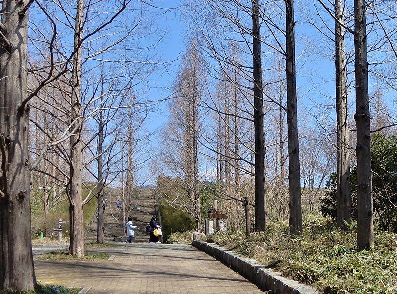 メタセコイア並木5