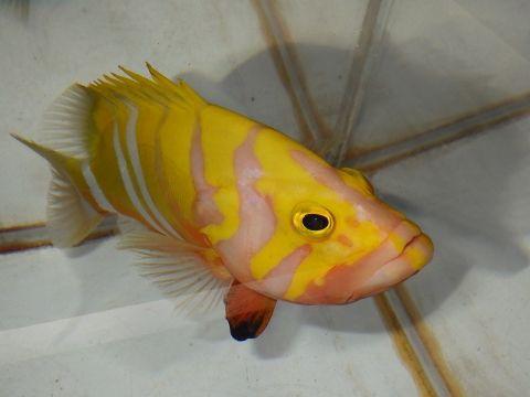 シマハタ(Cephalopholis igarashiensis)85 深海魚飼育 ネプチューングル―パー