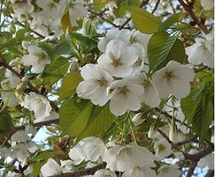 桜 (314x258).jpg