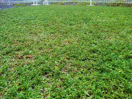 鉢植えロンギカウリスの秋2