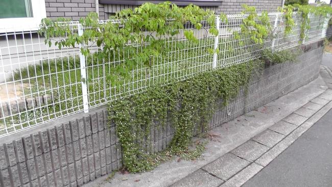 擁壁を覆うイワダレソウ