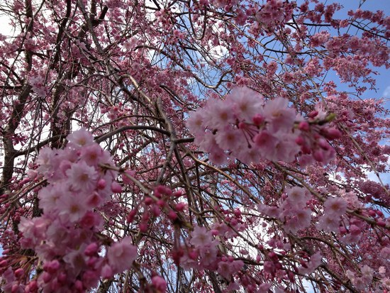 2枝垂紅桜5501.jpg